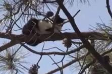 Residentes resgatam gato de pinheiro de 25 metros
