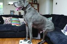 Cão gigante pesa o mesmo que um elefante bebé