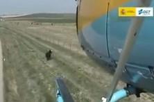 Helicóptero pastoreia vaca que se tinha perdido da manada