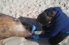 Golfinho morto em praia da Ilha da Culatra