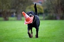 GNR e PSP ainda não formaram um único dono de cães perigosos