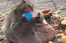 Macaco obeso devora comida de turistas