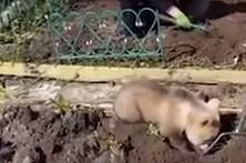 Urso ajuda a plantar batatas