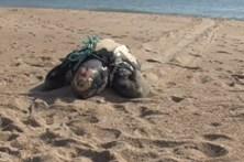 Carcaça de tartaruga aparece na Nazaré
