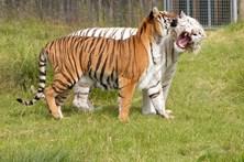 Tratadora morre atacada por tigre
