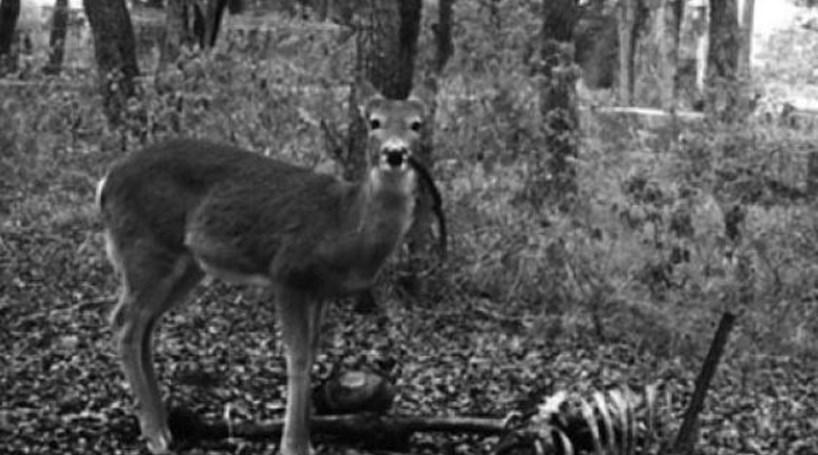 E se o Bambi fosse apanhado a comer carne humana?