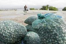 GNR apreende quase duas toneladas de amêijoa japonesa no Grande Porto