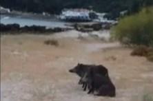 Javalis invadem praia na Arrábida