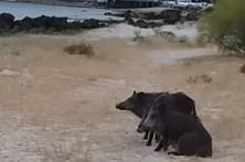 Praga de javalis invade as praias da Arrábida