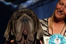 Mastim napolitano é o cão mais feio do mundo