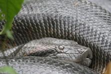 Homem é atacado por cobra de 1,5 metros