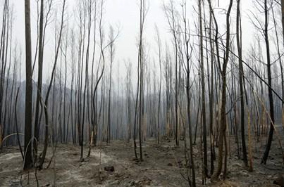 BE quer suspensão de programa de rearborização de eucaliptos
