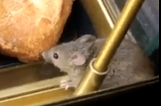 Rato filmado a comer sanduíche de queijo no aeroporto