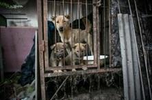 Salvam 150 cães de serem cozinhados