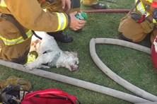 Vídeo mostra bombeiros a reanimare salvar cão de incêndio