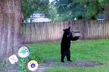 Urso selvagem invade quintal