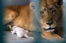 Animais selvagens regatados de zoo na Síria ganham nova vida na Jordânia