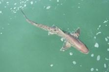 Polícia Marítima recolhe tubarão junto a praia em Setúbal