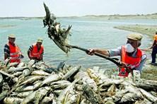 Seca obriga a retirar 150 toneladas de peixe