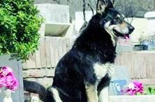 Cão guarda campa do dono há 10 anos