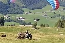 Parapentista choca com vaca