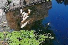 GNR investiga causa do aparecimento de peixes mortos em Penafiel