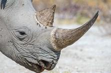 Primeiro leilão de chifres de rinoceronte na Internet