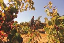 Algarve está a produzir mais e melhor vinho