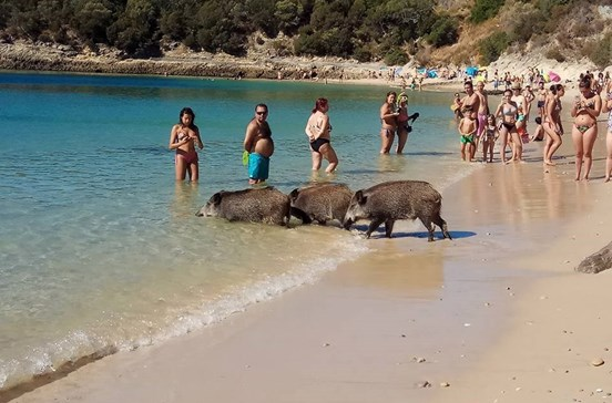 Javalis invadem praias de Setúbal