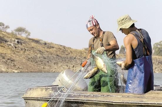 Peixe das barragens vai para isco e ração