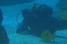 Biólogos mergulham no Oceanário para alimentar tubarões e raias