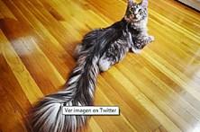 Gato com a cauda mais longa do mundo