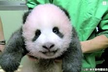 Panda adorável faz sucesso em Tóquio