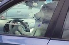 Cão buzina para chamar o dono
