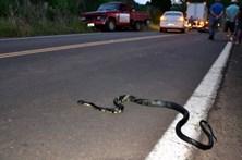 Desvia-se de cobra na estrada e morre ao embater com camião