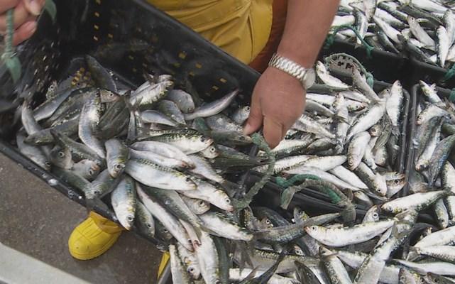 Quilo de peixe em lota 12 cêntimos mais caro