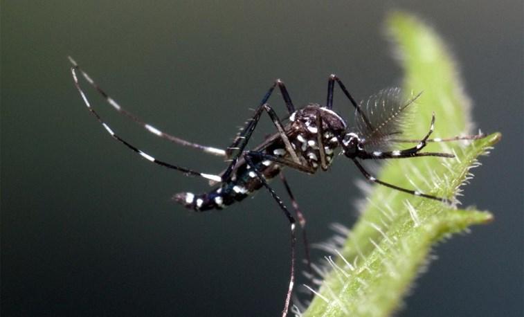 Mosquito da Dengue chegou a Portugal