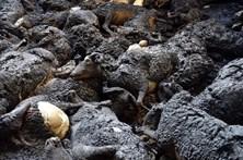 Governo divulga normas para o enterramento de animais vítimas dos fogos