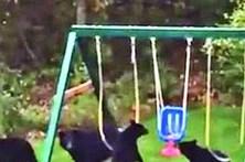 Ursos brincalhões invadem jardim nos Estados Unidos