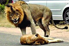 Leões fazem sexo no meio da rua