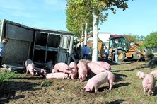 Casal ferido em despiste de camião com porcos