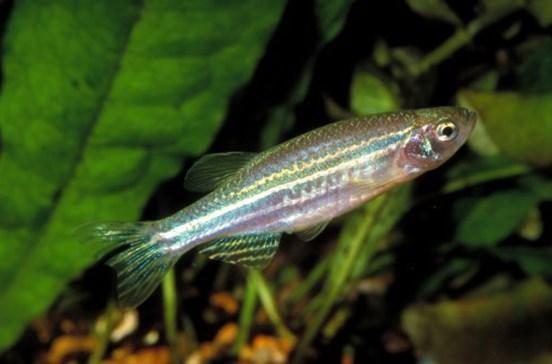 Hormonas lançadas na água e aumento da temperaturas inibem reprodução dos peixes