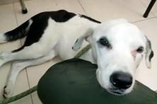 Cadela abandonada no aeroporto morre de