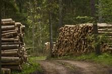 Tribunal da UE ameaça multar Polónia em 100 mil euros diários por abater árvores
