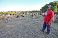 Rebanhos de ovelhas atacados por cães