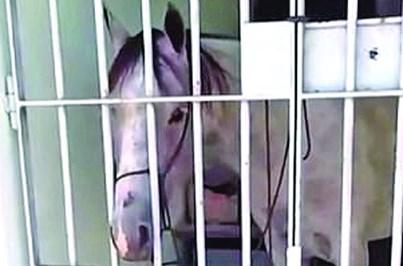 Cavalo dá coice num carro e acaba detido