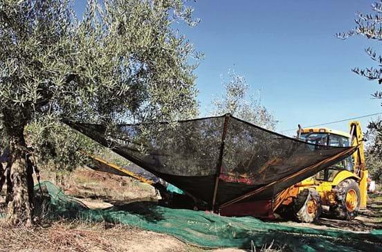 Seca diminui a produção de azeitona para metade