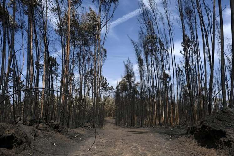 Atual governo autorizou mais plantações de eucaliptos do que o anterior — Ambientalistas