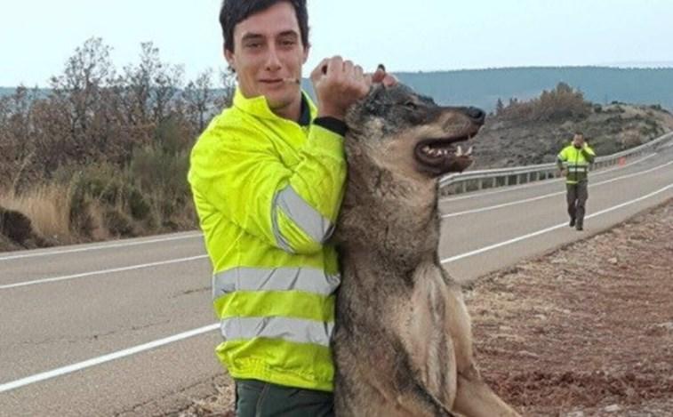 Publicam fotos de lobo ibérico morto depois de o atropelarem