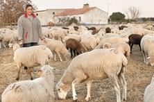Seca e fogos deixam mil ovelhas a passar fome